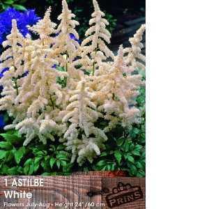Astilbe White Pre-Packed Perennial 1 Per Pack