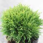 Thuja Occidentalis Danica (White Cedar Danica) 7.5Ltr