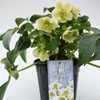 Helleborus White Beauty 3ltr
