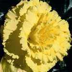 Begonia Tuber/Bulbs Pacific Hybrid Prima Donna Ruffled Yellow 1 Per Pack