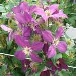 Clematis Viticella Mikelite 3ltr