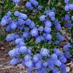 Ceanothus Concha (californian Lilac) 1mtr - 1.25mtr 10 Litre