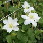 Clematis Shirayukihime (Snow White) 3ltr