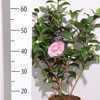 Camellia Japonica Bonomiana 4Ltr