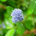 Ceanothus Delight Californian Lilac 20Ltr Trellis Climber