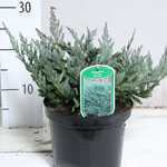 Juniperus Horizontalis Blue Chip (Creeping Blue Juniper)