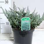Juniperus Horizontalis Blue Chip (Creeping Blue Juniper)