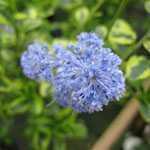 Ceanothus Thyrsiflorus Eldorado (Californian Lilac) 3ltr