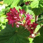 Ribes Sanguineum Pulborough Scarlet (Flowering Currant) 3Ltr