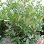 Laurel Hedging (Common or Cherry Laurel) Prunus Rotundifolia 1.5 mtr  25Ltr Pot