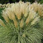 Cortaderia Selloana (Pampas Grass) 10ltr