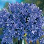Agapanthus Donau Blue (African Lily) Lily Of The Nile Pre-Packed Perennial 1 Per Pack
