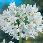 Agapanthus Polar Ice White Lily Of The Nile Pre-Packed Perennial Plant 1 Per Pack