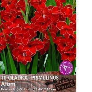 Gladioli Primulinus Atom Bulbs 10 Per Pack