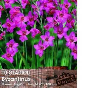 Gladioli Byzantinus Bulbs 10 Per Pack