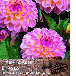 Dahlia Ball Bulbs El Paso 1 Per Pack