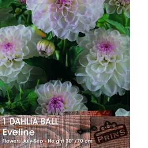 Dahlia Ball Bulbs Eveline 1 Per Pack