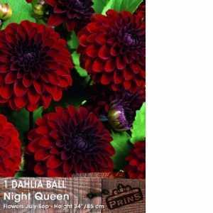 Dahlia Ball Bulbs Night Queen 1 Per Pack