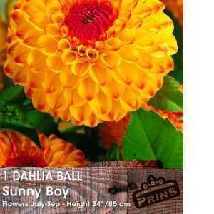 Dahlia Ball Bulbs Sunny Boy 1 Per Pack