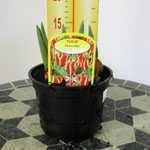 Tulip Pinocchio Potted Bulbs 13cm Pot