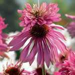 Echinacea Double Decker Pre-Packed Perennial 1 Per Pack