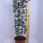 Clematis Early Sensation (Evergreen) Trellis Climber 20 Litre Pot