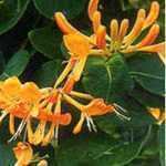 Lonicera Honeysuckle Copper Beauty Trellis Climber 20Ltr