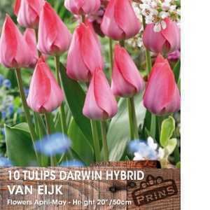 Tulip Bulbs Darwin Hybrid Van Eijk 10 Per Pack