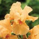 Iris Germanica Bearded Apricot Pre-Packed Perennial 1 Per Pack