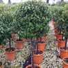 Prunus Lusitanica (Portuguese Laurel) 1/2 Standard 40-50cm Head 18Ltr