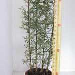 Rhamnus  Alternus 'Variegatus' (Buckthorn) Trellis Climber