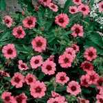 Potentilla Nepalanese Miss Willmott Pre-Packed Perennial 1 Per Pack