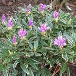 Rhododendron Variegata Ponticum (Variegated Leaf) 5Ltr