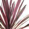 Cordyline Australis Pink Passion (Cabbage Plant) 7ltr