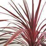 Cordyline Australis Sunrise (Cabbage Plant) 7Ltr