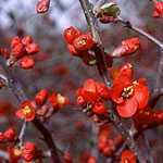 Chaenomeles Superba Hollandia (Flowering Quince)