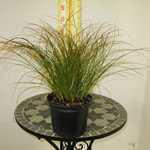 Carex Testacea Ornamental Grass