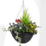 Winter Planted Hanging Baskets With Pansys  Cyclamen and Goldcrest 12inch