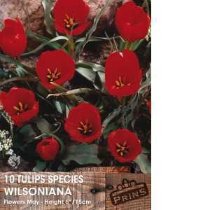 Tulip Bulbs Species Wilsoniana 10 Per Pack