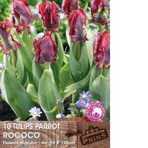 Tulip Bulbs Parrot Rococo 10 Per Pack