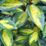 Elaeagnus Pungens Maculata Aurea 1/2 Standard 30Ltr