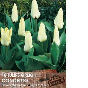 Tulip Bulbs Greigii Concerto 10 Per Pack