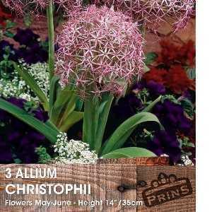 Allium Bulbs Christophii 3 Per Pack