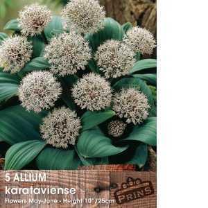 Allium Bulbs Karataviense 5 Per Pack