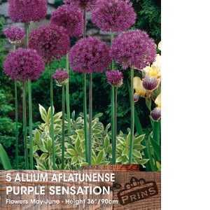 Allium Bulbs Aflatunense Purple Sensation 5 Per Pack