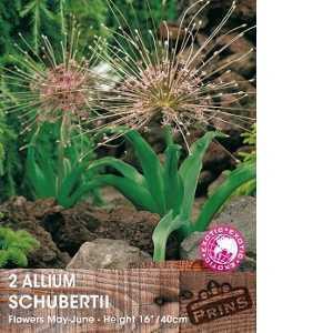 Allium Bulbs Schubertii 2 Per Pack