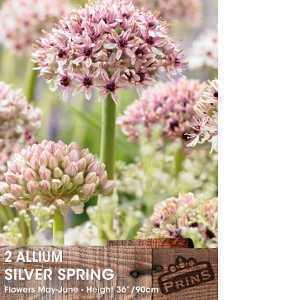 Allium Bulbs Silver Spring 2 Per Pack