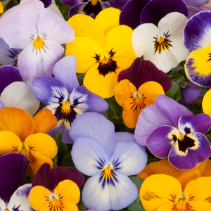 Pansy Winter Flowering (Pansies) Bedding Plants Mixed Colours - 10 Per Tray