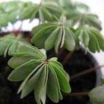 Oxalis (Oxalidaceae) Adenophylla 1Ltr