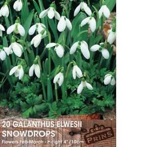 Galanthus Elwesii Bulbs Snowdrops White Flower 20 Per Pack
